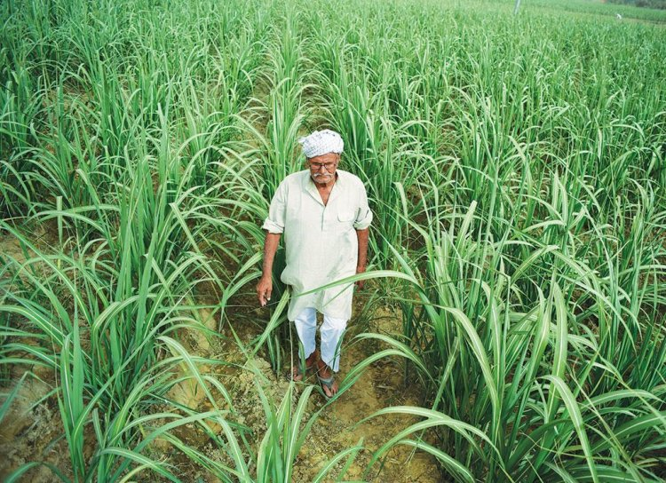 Sugarcane area jumps 30 per cent in Eastern UP