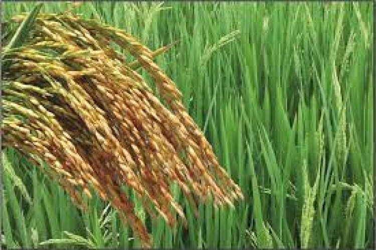 Paddy area in UP increases to 6 million hectares