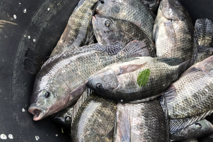 Fish farming perking up rural economy in UP