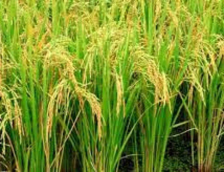 Record foodgrain production of 150.50 mt estimated in Kharif season